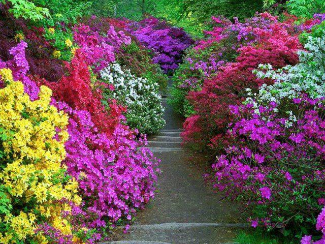 азалия садовая - Мои статьи - Каталог статей - azalija